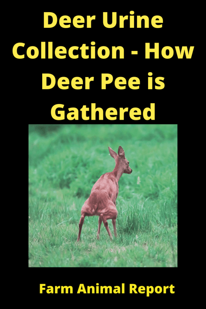 Deer Urine Collection - How Deer Pee is Gathered 2