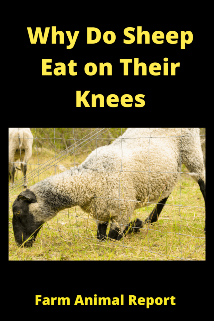 Why Do Sheep Eat on Their Knees / Feet Problems 1