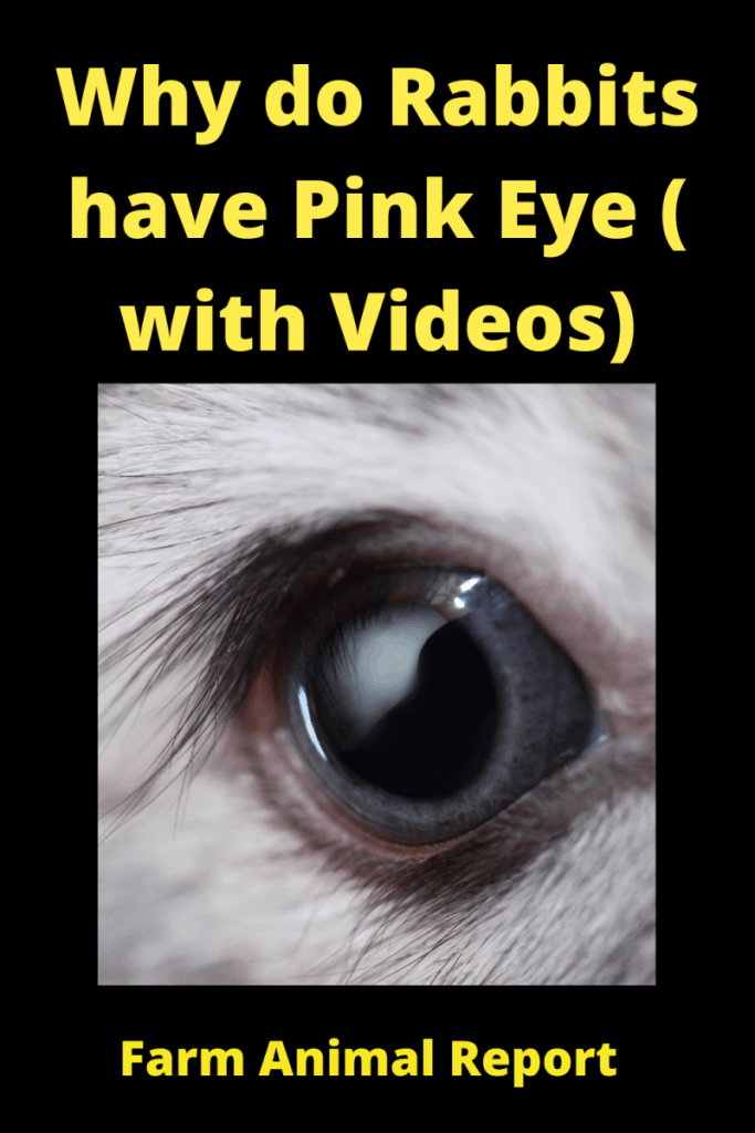 Why do Rabbits have Pink Eye ( with 4 Videos) 1
