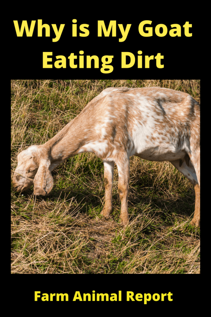Why is My Goat eating Dirt? 1