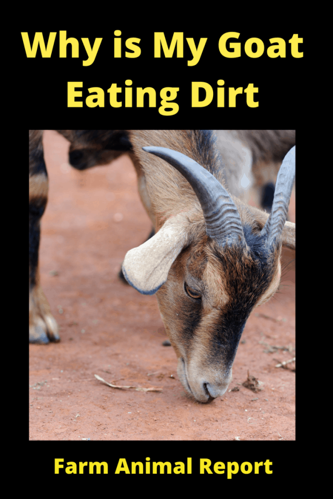Why is My Goat eating Dirt? 2