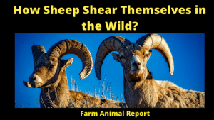 How Sheep Shear Themselves in the Wild_