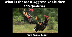 What is the Most Aggressive Chicken / 15 Qualities