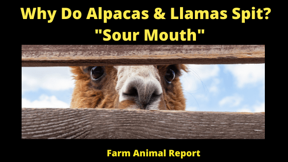Why Do Alpacas & Llamas Spit_ _Sour Mouth_