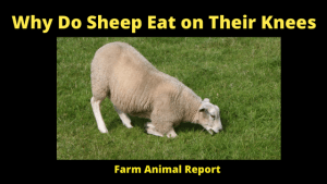 Why Do Sheep Eat on Their Knees