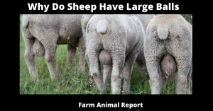 Why Do Sheep Have Large Balls