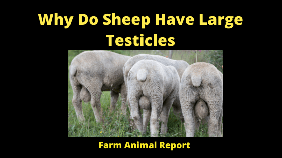 Why Do Sheep Have Large Testicles