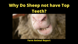 Why Do Sheep not have Top Teeth_