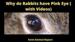 Why do Rabbits have Pink Eye ( with Videos)