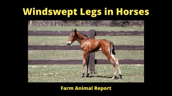 Windswept Legs in Horses