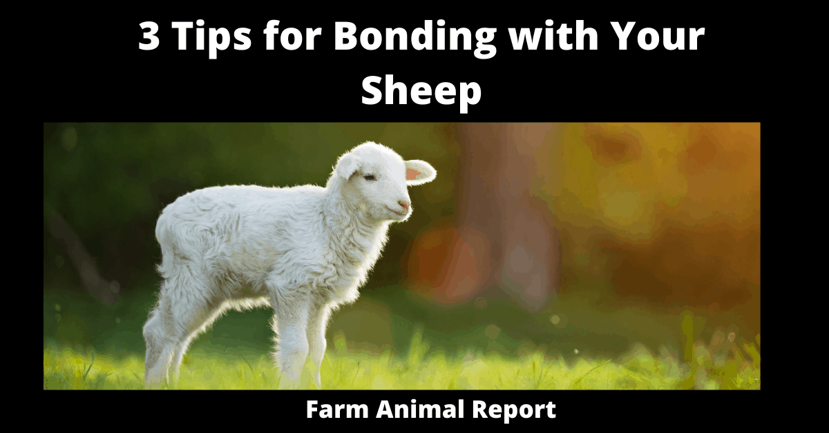 3 Tips for Bonding with Your Sheep