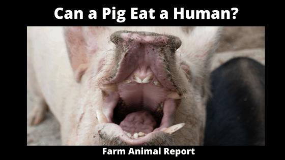 Can a Pig Eat a Human_