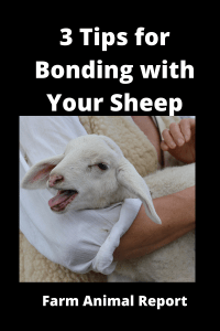 3 Tips for Bonding with Your Sheep / Effective Ways Building Trust 2
