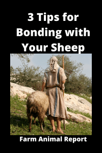 3 Tips for Bonding with Your Sheep / Effective Ways Building Trust 1