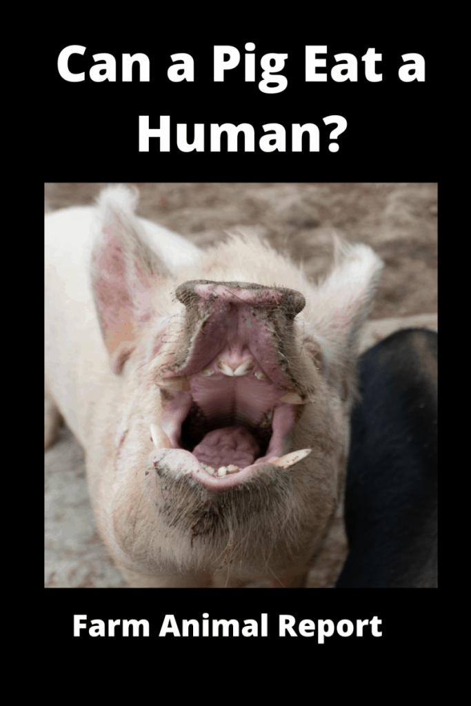 Can a Pig Eat a Human? Unsuspecting Danger 4