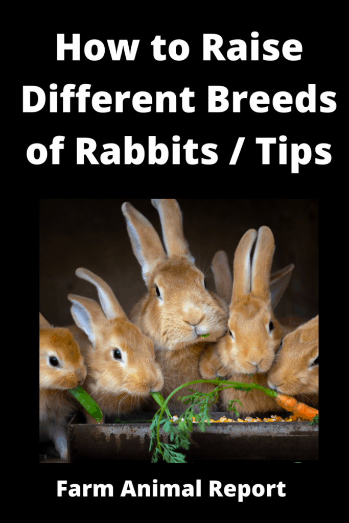 How to Raise Different Breeds of Rabbits / Tips 1