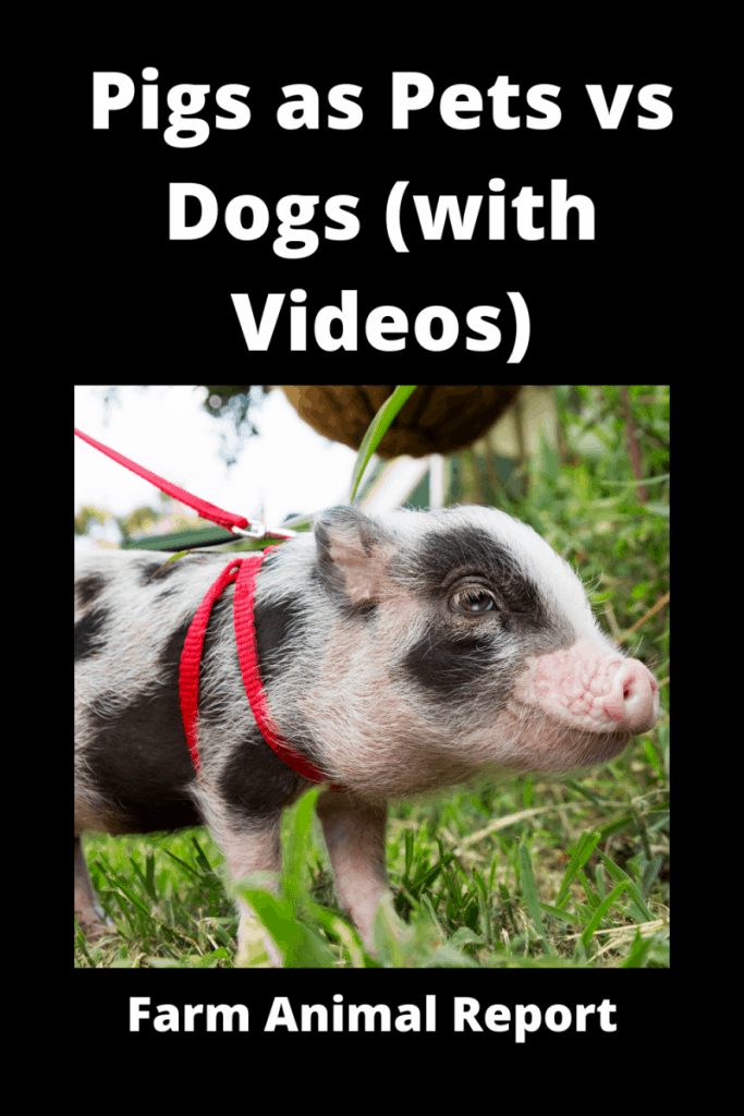 Pigs as Pets vs Dogs (with Videos) 2