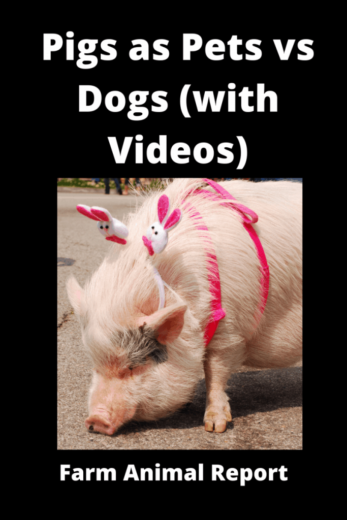 Pigs as Pets vs Dogs (with Videos) 3