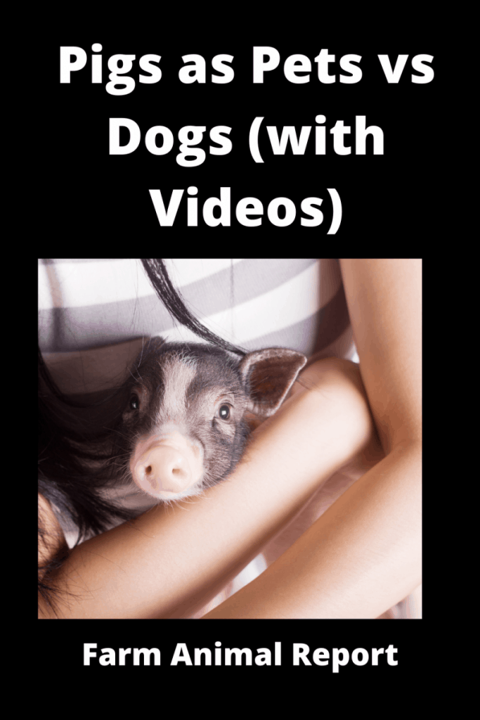 Pigs as Pets vs Dogs (with Videos) 1