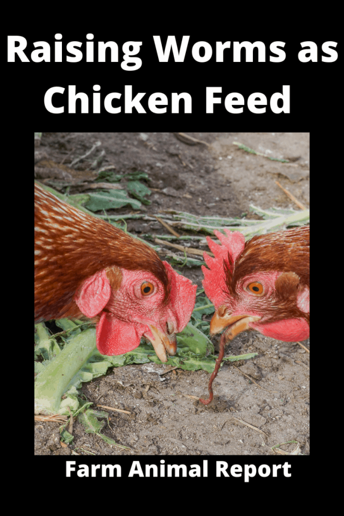 Raising Worms as Chicken Feed / Organic Natural Food 1