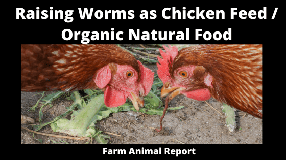 Raising Worms as Chicken Feed _ Organic Natural Food (1)
