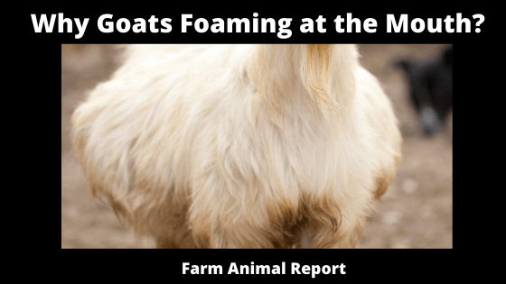 Why Goats Foaming at the Mouth