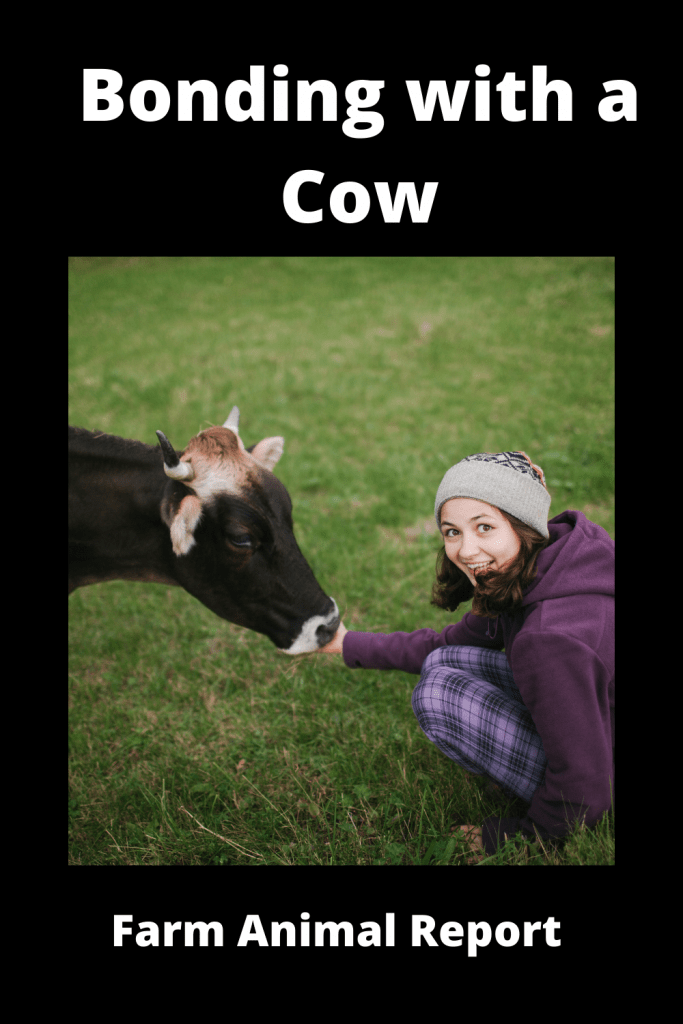 Bonding with a Cow: What to Do and What to Avoid 2