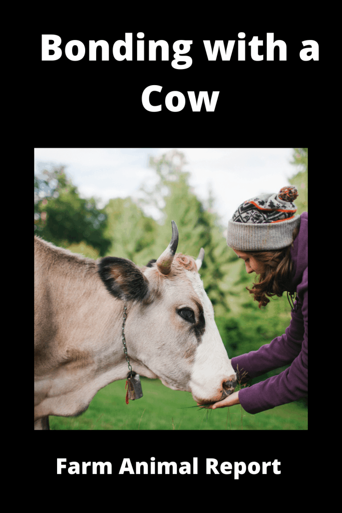 Bonding with a Cow: What to Do and What to Avoid 3