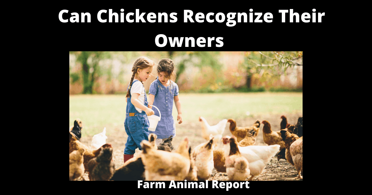 Can Chickens Recognize Their Owners