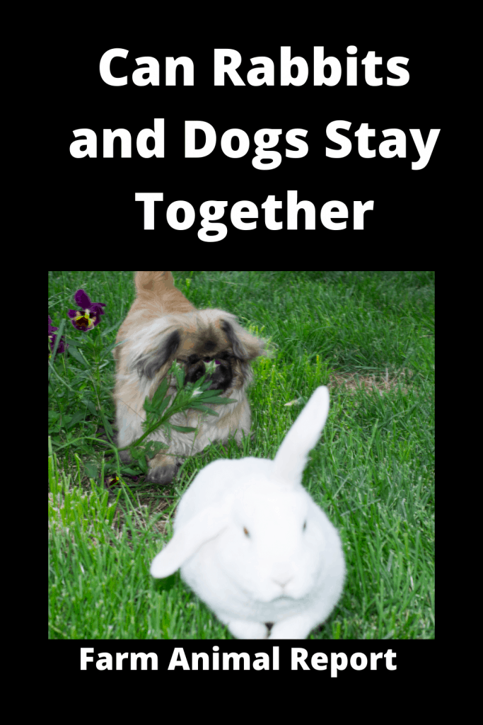 Can Rabbits and Dogs Stay Together (with 6 Videos) 3