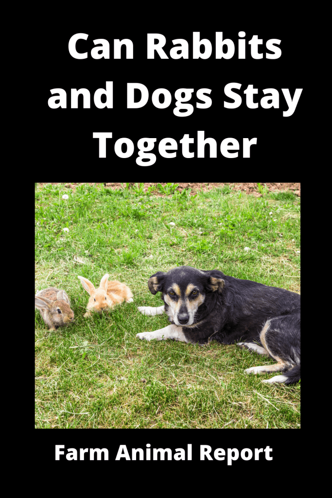 Can Rabbits and Dogs Stay Together (with 6 Videos) 1
