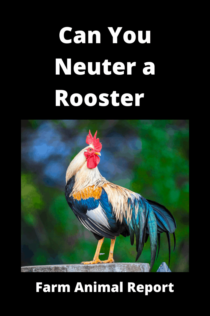 Can You Neuter a Rooster  / Caponizing/ Graphic ( 4 With Videos) 2