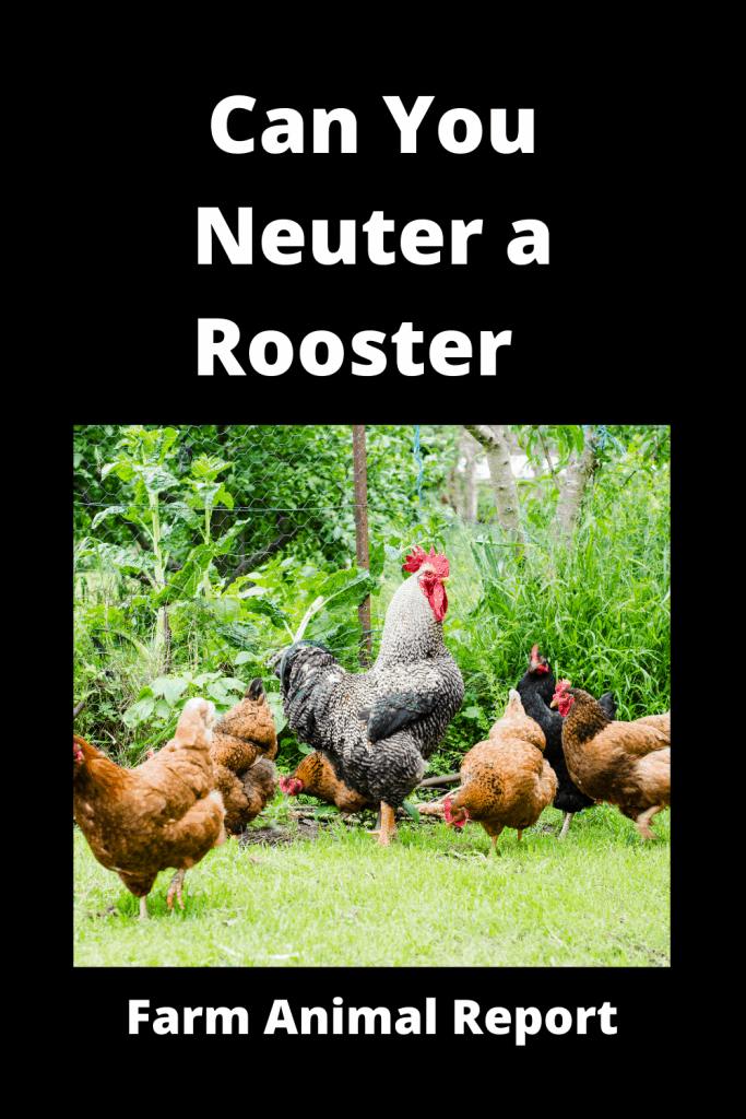 Can You Neuter a Rooster  / Caponizing/ Graphic ( 4 With Videos) 3