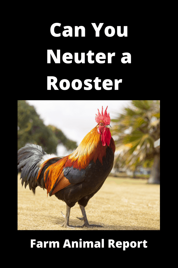 Can You Neuter a Rooster  / Caponizing/ Graphic ( 4 With Videos) 1