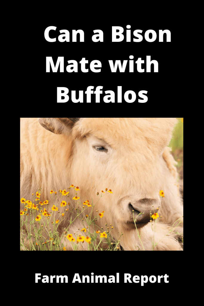 Can a Bison Mate with Buffalos? ( 3 Videos) 2