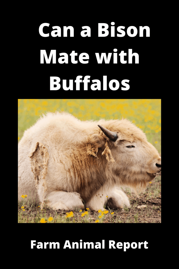 Can a Bison Mate with Buffalos? ( 3 Videos) 1