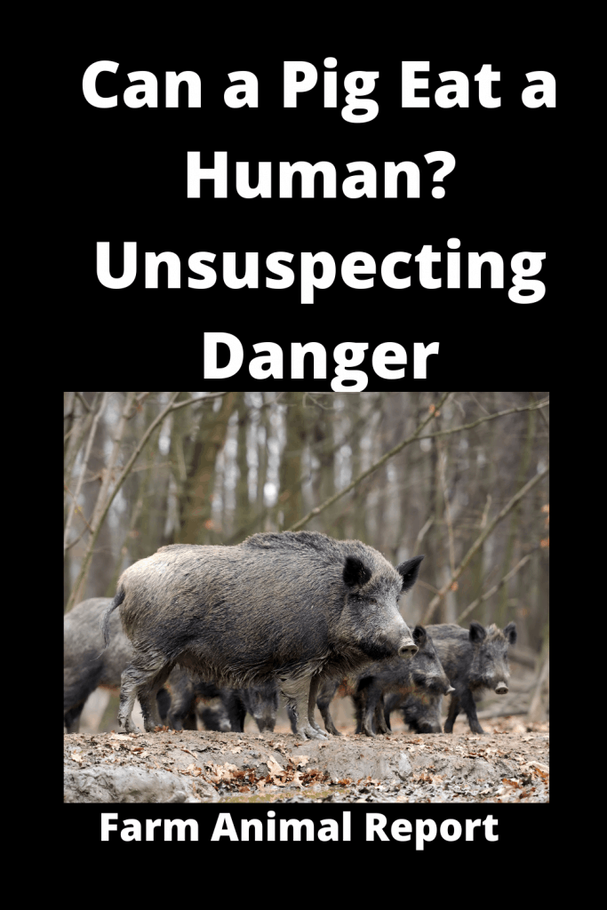 Can a Pig Eat a Human? Unsuspecting Danger 2