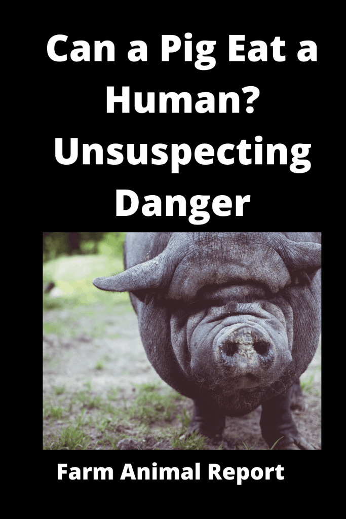 Can a Pig Eat a Human? Unsuspecting Danger 3