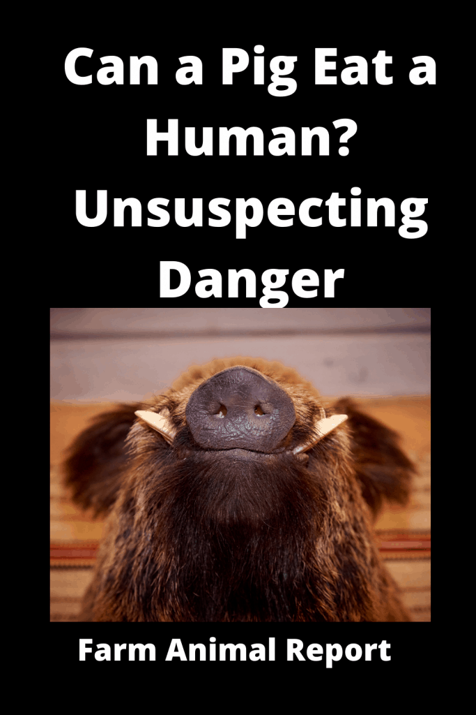 Can a Pig Eat a Human? Unsuspecting Danger 1