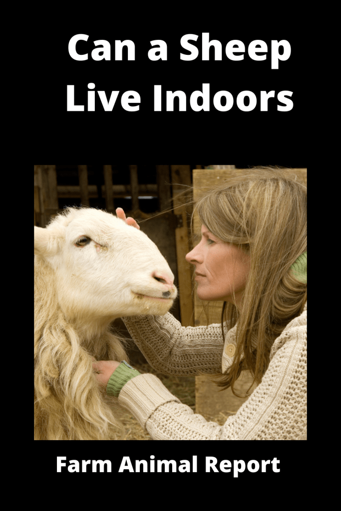 Can a Sheep Live Indoors? 3
