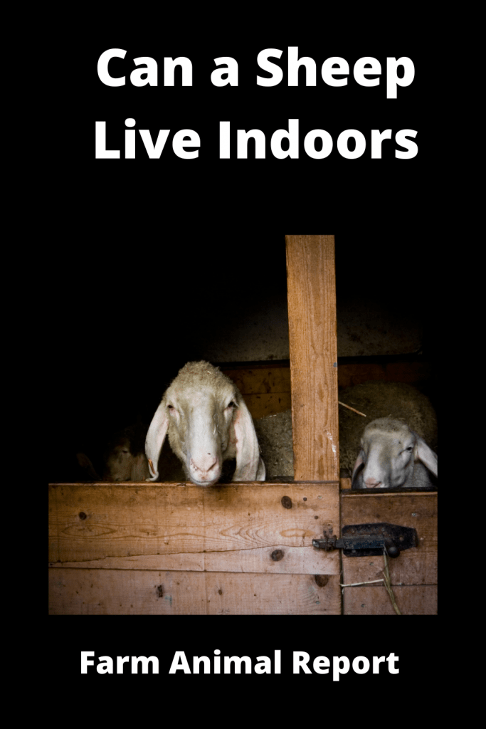 Can a Sheep Live Indoors? 2