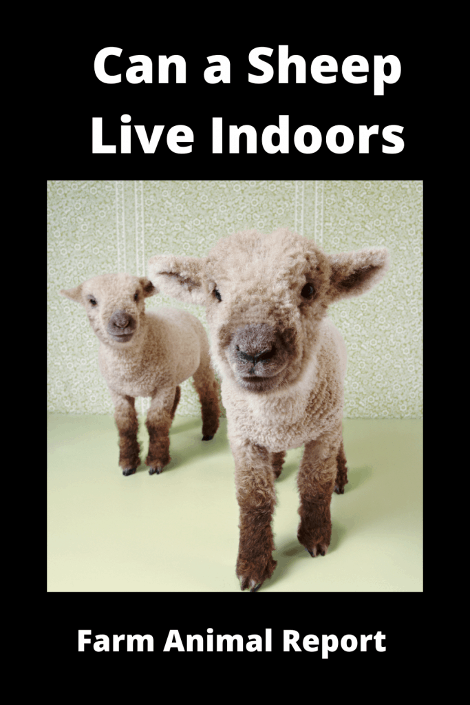 Can a Sheep Live Indoors? 1