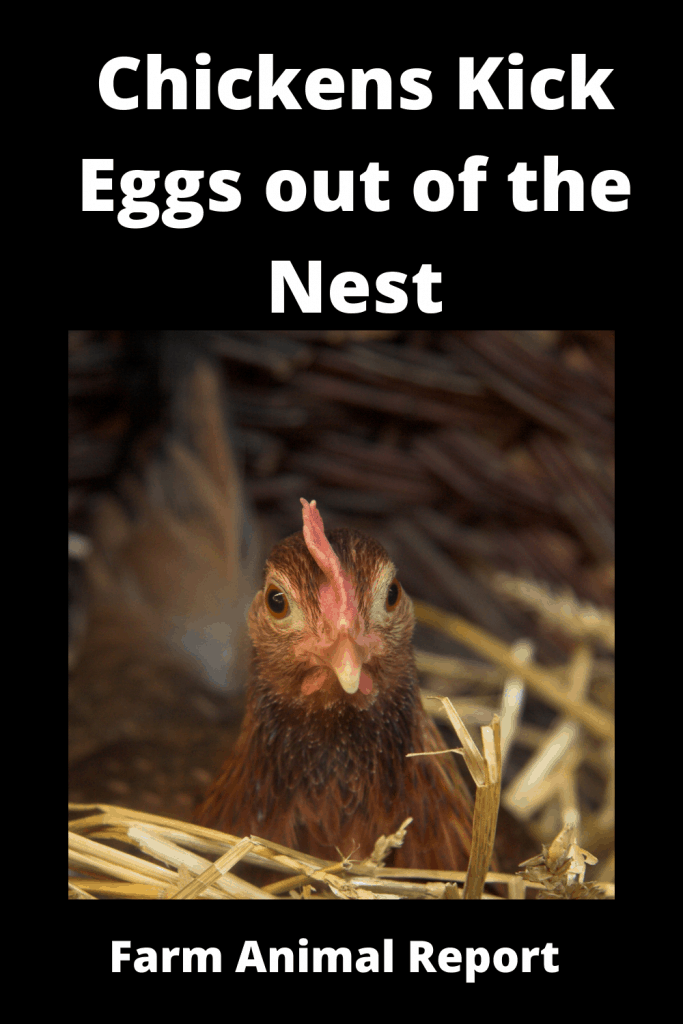 Why Do Chickens Kick Eggs out of the Nest Attack Chicks / 3 Videos 2