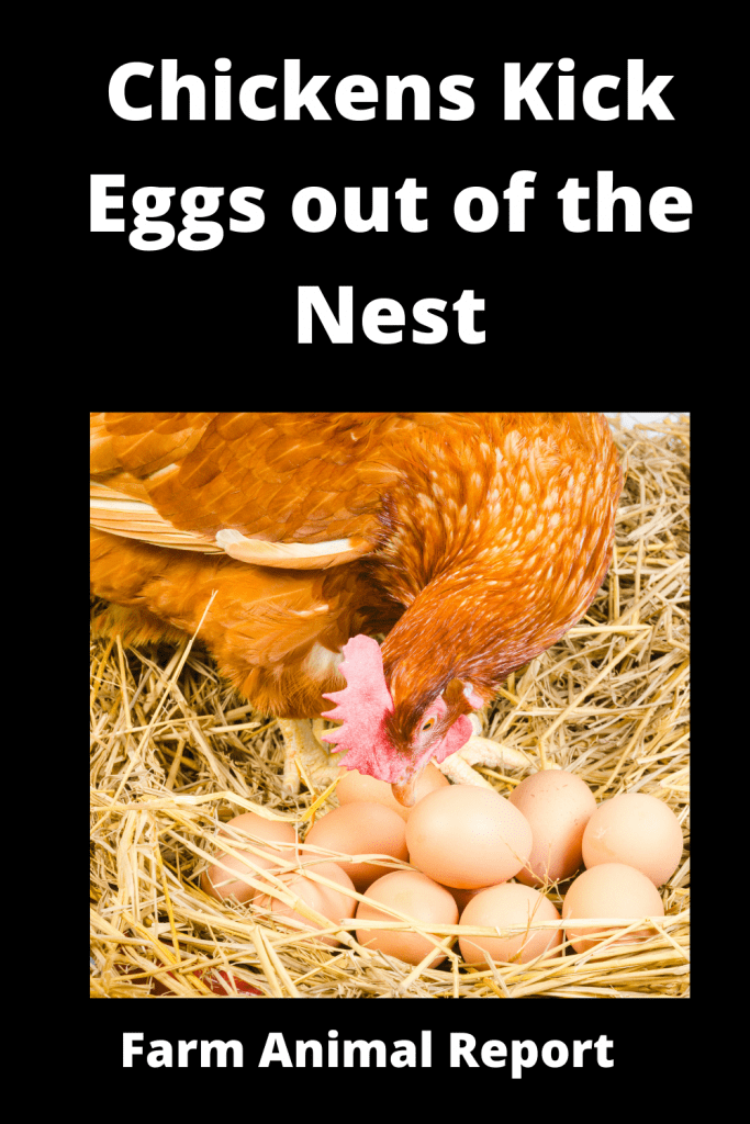 Why Do Chickens Kick Eggs out of the Nest Attack Chicks / 3 Videos 1