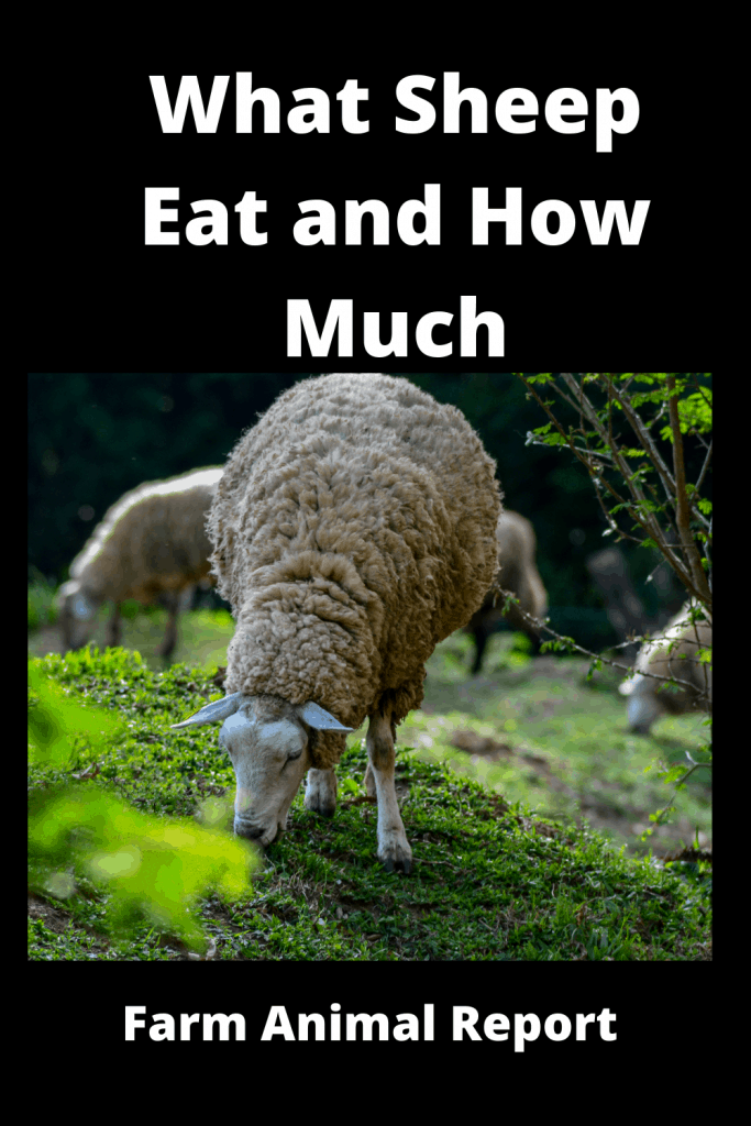 What Sheep Eat and How Much / Your Guide to Feeding Sheep 1