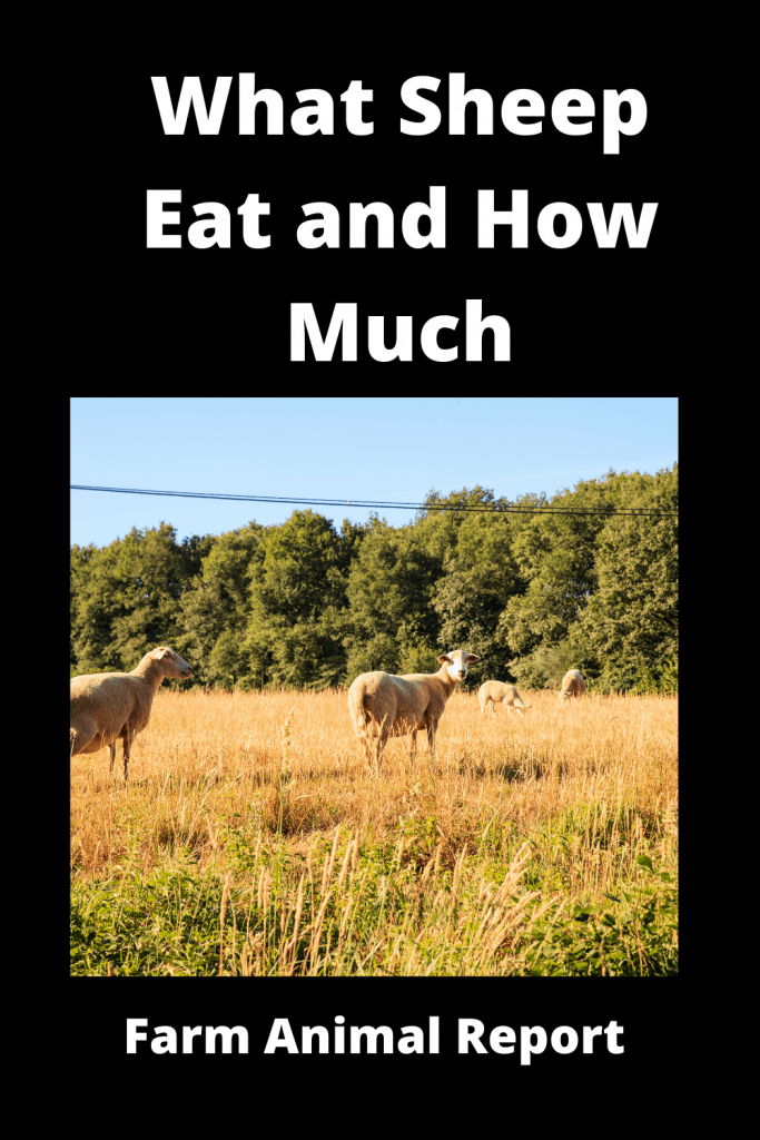 What Sheep Eat and How Much / Your Guide to Feeding Sheep 2