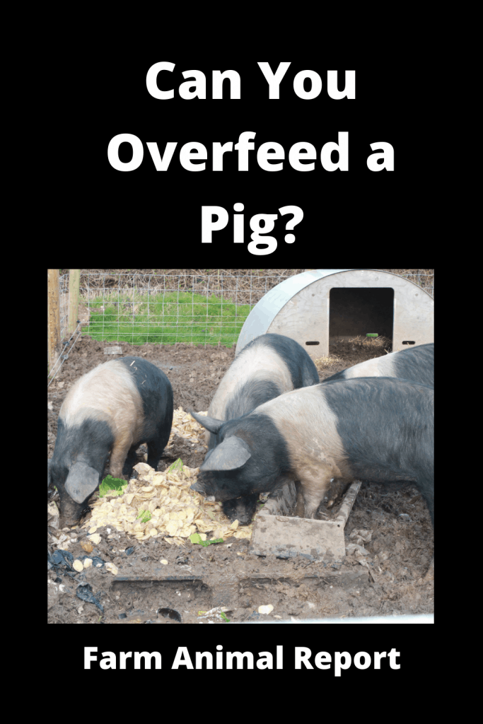 Can You Overfeed a Pig? 2