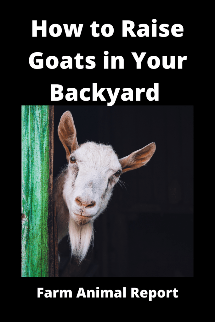 How to Raise Goats in Your Backyard - Complete Guide 1
