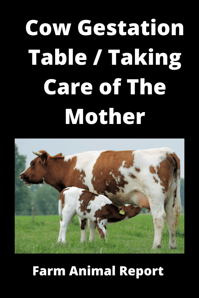 Cow Gestation Table / Taking Care of The Mother 3