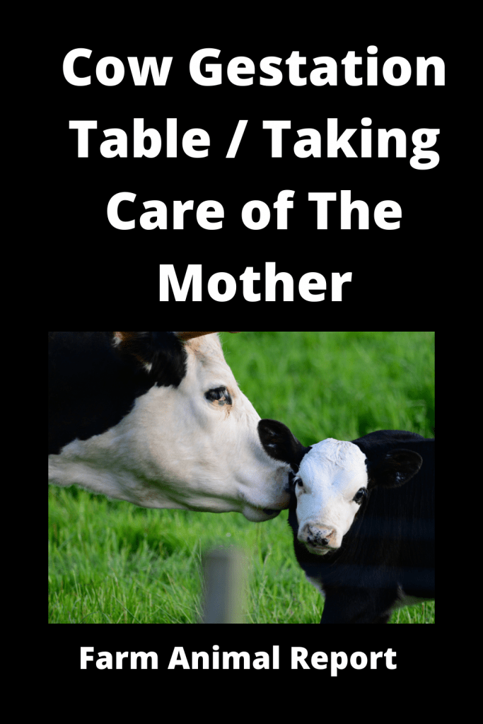Cow Gestation Table / Taking Care of The Mother 4